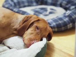 do vizsla dogs shed hungarian vizsla pets at home