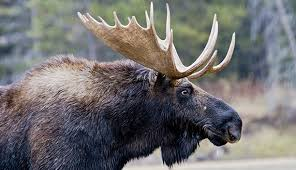 Moose Shedding Their Antlers by 16 When Do Moose Shed Their Antlers A Huge 400 Class Elk