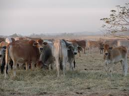 Difference between live and feeder cattle London time sydney time