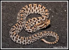 Dusky Pygmy Rattlesnake | Florida Backyard Snakes Backyard Snakes Effective Wildlife Solutions Snakes And Beyond 65 Best Know Them Images On Pinterest Georgia Of Louisiana Department Fisheries Southern Hognose Snake Florida Texas Archives What Is That 46 The States Slithery Species Nolacom Scarlet Kingsnake Cottonmouth Eastern Living Alongside Idenfication Challenge The Garden Or Garter My Species List New Engdatlantic