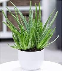 baldur garten echte aloe vera 1 pflanze hoch im 12 cm topf aloe barbadensis miller zimmerpflanze luftreinigende zimmerpflanze