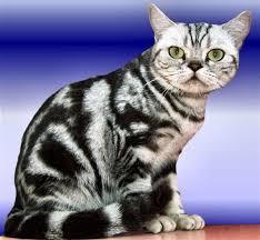 shorthair cat price cat photos shorthair cat pictures