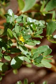 25 Best PURSLANE RECEIPIES AND PICTURES Images On Pinterest ... Southern Forager Spring Edible Plants In Middle Tennessee Eating The Wild Your Backyard Fixcom Landscapes Think Blue Marin Gulf Coast Gardening For Weeds And You Can Eat Remodelaholic 25 Garden Ideas Backyards Amazing Uk Links We Love Planting Plant Landscaping Sacramento Landscape Blueberries Raspberriesplants For Your Summer Guide Oakland Berkeley Bay Area Paper Mill Playhouse Yard2kitchen 197 Best Edible Wild Plants Images On Pinterest Survival Skills