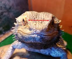 Bearded Dragon Heat Lamp Times by Bearded Dragon Care Bearded Dragon Health And Disease Page 3