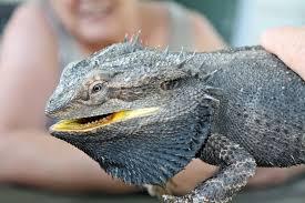 100 bearded dragon shedding behavior tail rot or still