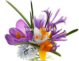 saffron seeds saffron flower seeds saffron crocus seeds it is not
