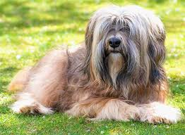 Do Wheaten Terriers Shed by Tibetan Terrier Dog Breed Information Pictures Characteristics
