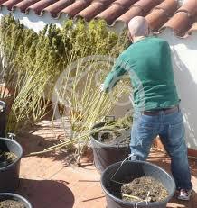 recolte cannabis exterieur date quand récolter le cannabis philosopher seeds