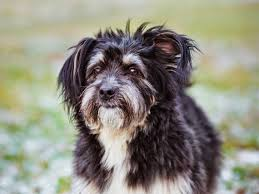 Small Non Shedding Dogs Australia by 10 Healthiest Dog Breeds Petmd