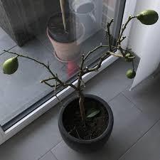 zitronenbaum komplett kahl gesundheit und medizin