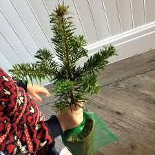 Nordmann Fir Christmas Tree by Nordman Fir Christmas Tree Gift Send A Pot Grown Nordman Fir