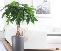 Plants In Bathroom Good For Feng Shui by The Feng Shui Money Plant A Popular Wealth Cure