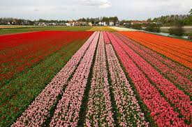 what colors do tulips come in bloomnation