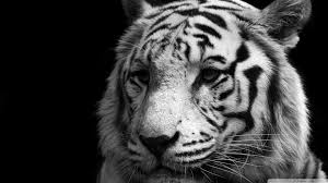 Tiger Black And White ❤ 4K HD Desktop Wallpaper for 4K Ultra HD