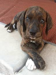 Do Treeing Walker Coonhounds Shed by Brindle Plott Coon Hound Plott Hound Dog And Hunting Dogs
