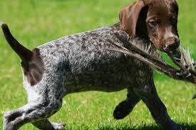 german shorthaired pointer shed german shorthaired pointer the happy puppy site