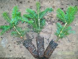 Christmas Tree Sapling Care by Christmas Tree Growers Facts