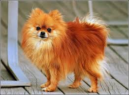 Dogs That Dont Shed Their Fur by 100 Dogs Who Dont Shed Luxury Large Dog Breeds That Don T