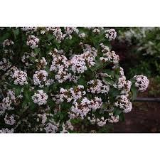 Rose De Rêscht Old Rose Small Neat Full Flowers Of Purple