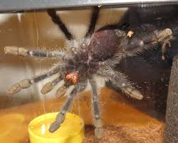 Do Tarantulas Molt Upside Down by Request For Ventral Sexing Of Juvenile Avicularia Tarantulas