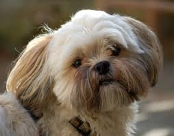 My Lhasa Apso Is Shedding Hair by More About The Shih Tzu Lhasa Apso Mix Aka The Shih Apso Dogable