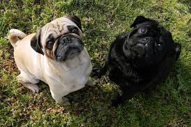 do pugs and puggles shed do pugs shed how to deal with the issue of pugs consistently shedding