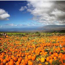 Kula Pumpkin Patch by Halloween Hawaii On Instagram