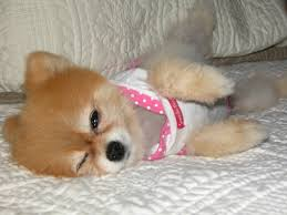 Small Non Shedding Dogs by Small Dog Breeds That Stay Small Forever And Don T Shed Breed