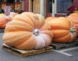 Atlantic Giant Pumpkin Taste by Pumpkin Varieties You Won U0027t See In The Pumpkin Patch Farm And