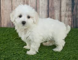 Small White Non Shedding Dog Breeds by Moodle Moodle Pet Insurance U0026 Dog Breed Info