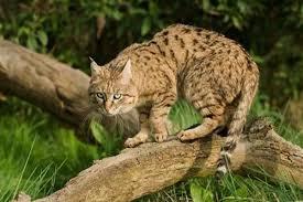 mountain cat mountain cat tibet nature environmental conservation network