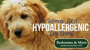 list of hypoallergenic dog breeds for people with allergies