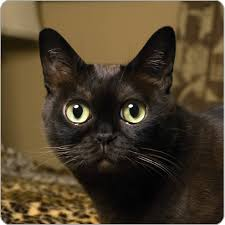 bombay cats 30 beautiful bombay cat photos and images