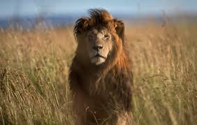 In Kenya And Some Other African Countries Hunting Lions Is
