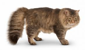 Large Low Shedding Dogs by Siberian Cat Breed Information Pictures Characteristics U0026 Facts