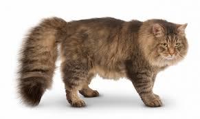 Siberian Cat Breed Information Characteristics & Facts