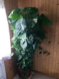 zimmerpflanze 2 meter wohnzimmer pflanze