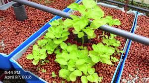 Backyard Aquaponics Cucumber Spinach Chilli Padi Sump Tank YouTube