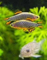 poisson eau douce aquarium tropical microrasbora galaxy danio margaritatus un charmant petit poisson