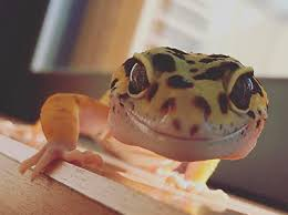 Do Leopard Geckos Shed by What To Do If Your Leopard Gecko Isn U0027t Eating