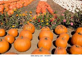 Faulkner County Pumpkin Patch by Paula California Ventura Stock Photos U0026 Paula California Ventura