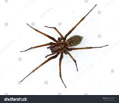Giant Scary House Spider Tegenaria Domesticus Stock Photo ... Spiders At Spiderzrule The Best Site In World About Spiders Barn Funnel Weaver Spider North American Insects Bug Eric Thinlegged Wolf Genus Pardosa Grass How To Tell If A Spider Is Not Brown Recluse Spiderbytes