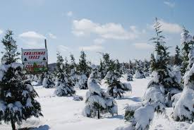 Leyland Cypress Christmas Tree Farm by Christmas Tree Farms Only In Arkansas