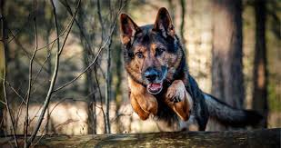 Low Shedding Dogs In India by German Shepherd Dog Information Pictures And Training Tips Pets