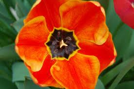 apeldoorn elite tulip plants encyclopedia