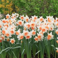 daffodil bulbs for sale tagged color yellow easy to