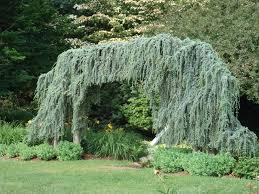 Enchanting Weeping Blue Atlas Cedar For Awesome Landscape Design
