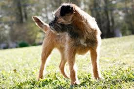 Do Border Terriers Shed by Border Terrier Temperament U0026 Personality