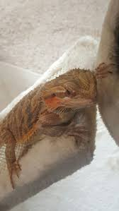 Bearded Dragon Shedding Process by Bearded Dragon In Cave All Day The Best Cave