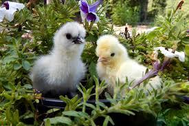 Chicken Bloopers My Pet Chicken Blog